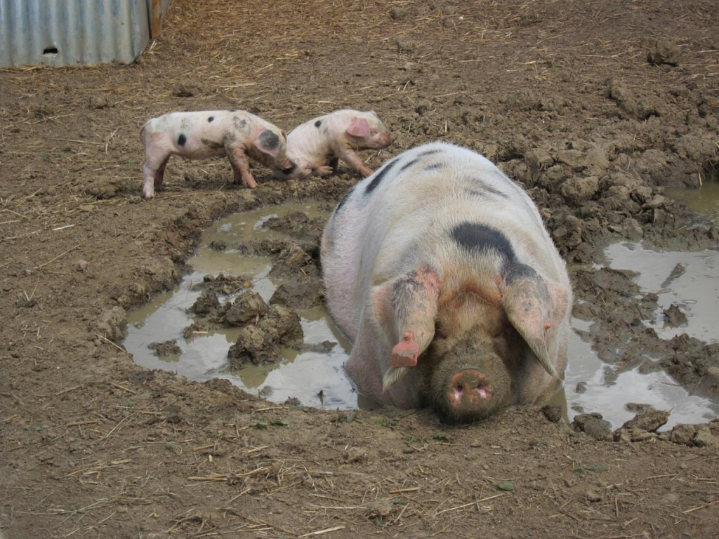 Rosie the Gloucester old Spot and her two surviving piglets