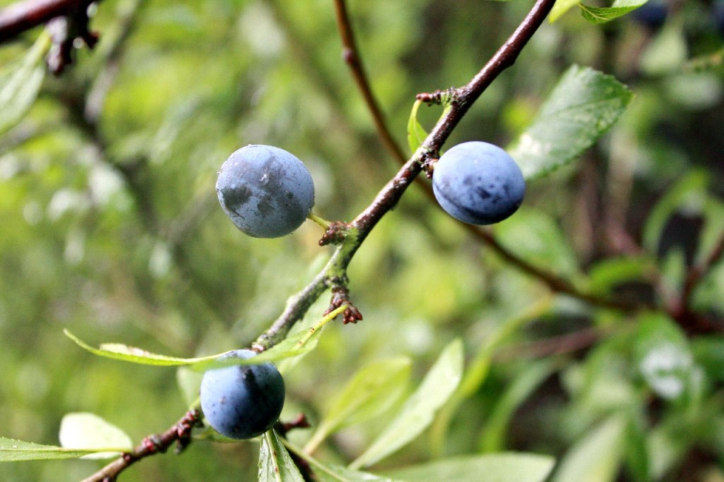 Sloe Berries at Woodlands Farm