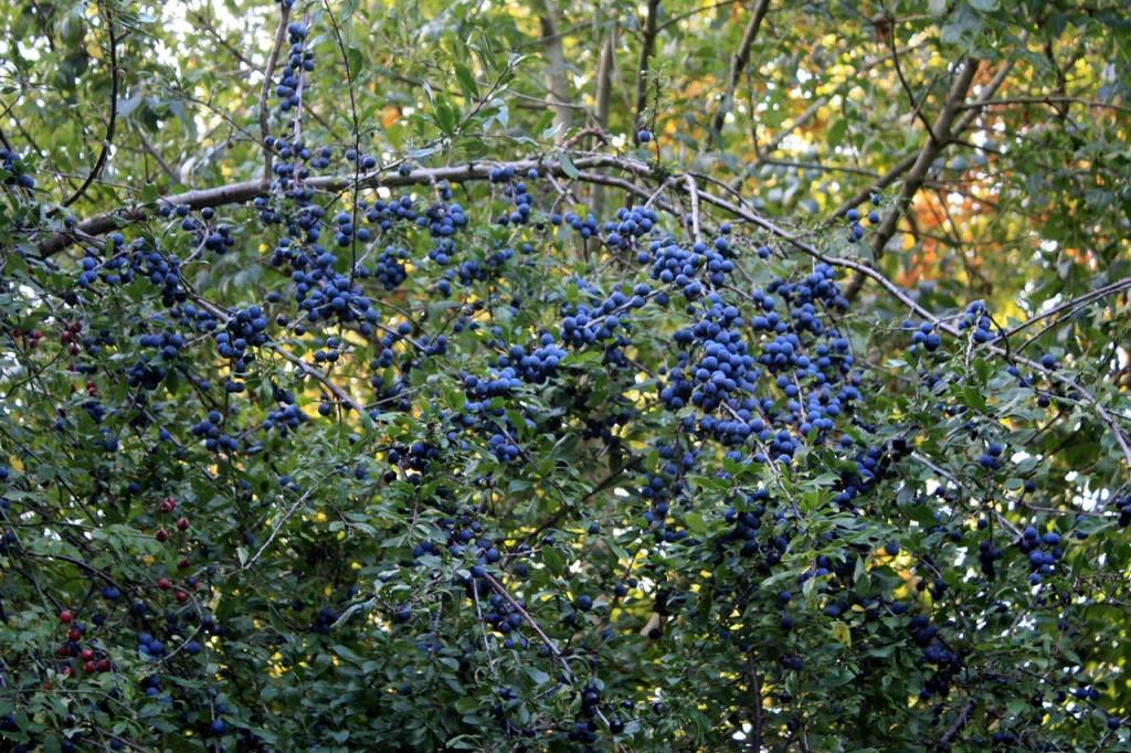Sloe berries at Woodlands Farm