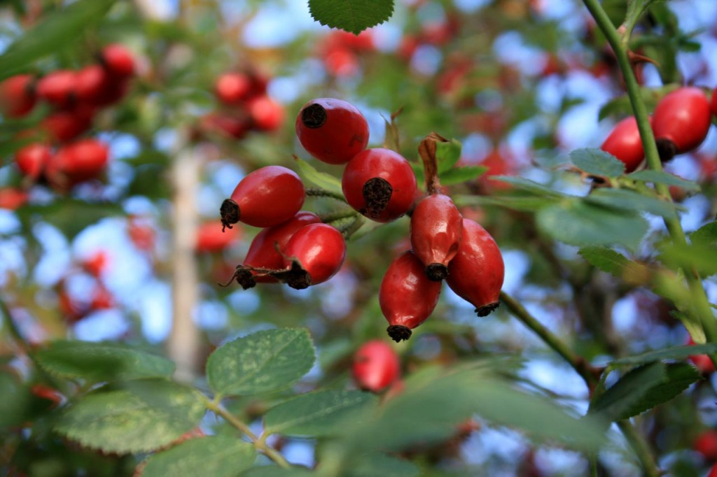 Wild Rose hips at Woodlands Farm