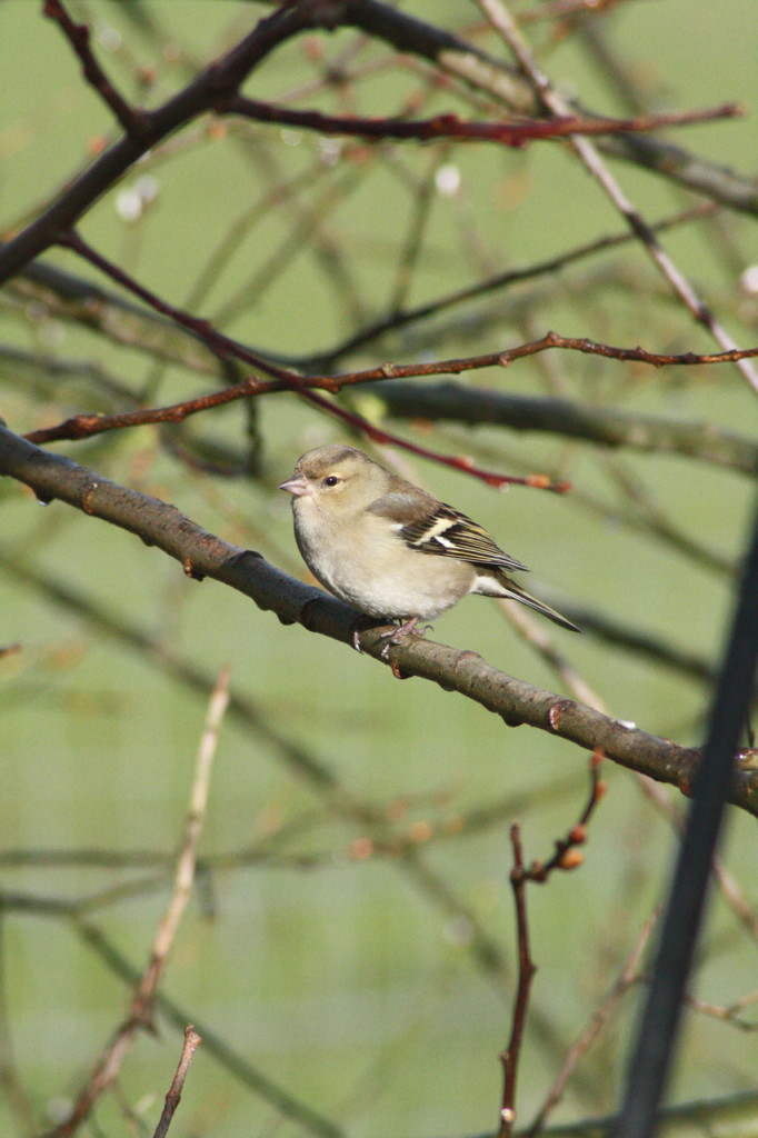 Female Chaffinch at Woodlands Farm
