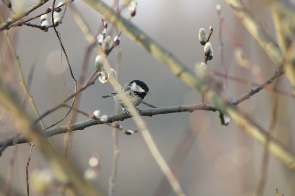Coal Tit at Woodlands Farm