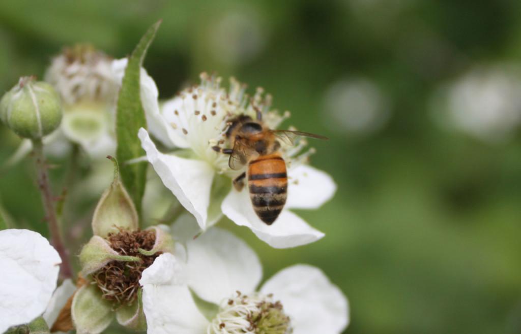 Honey Bee at Woodlands Farm