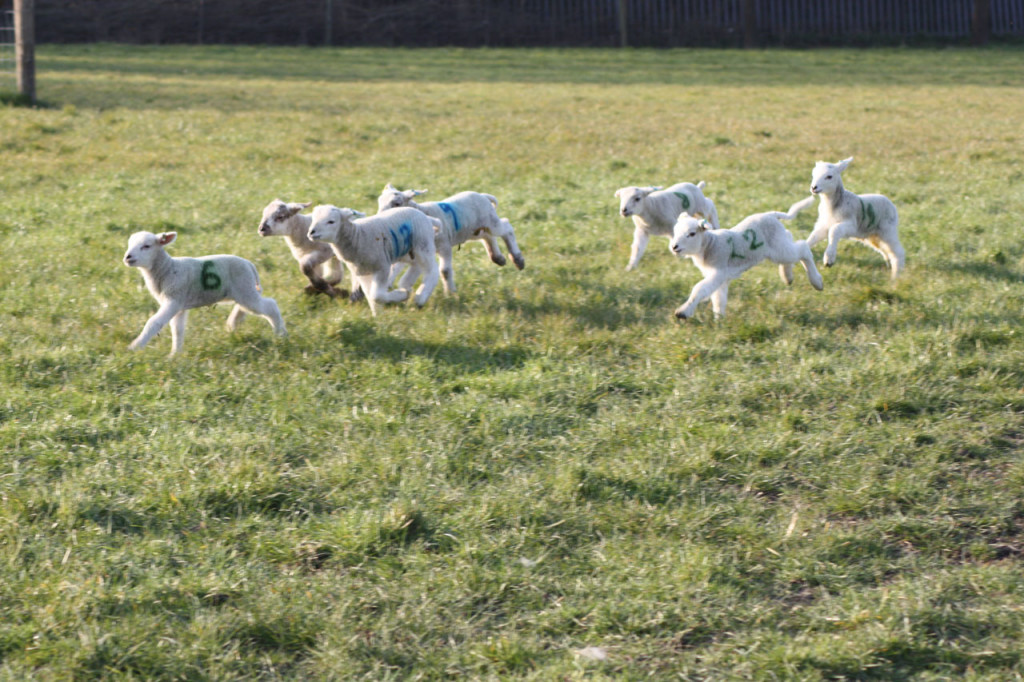New lambs racing across Woodlands Farm's fields