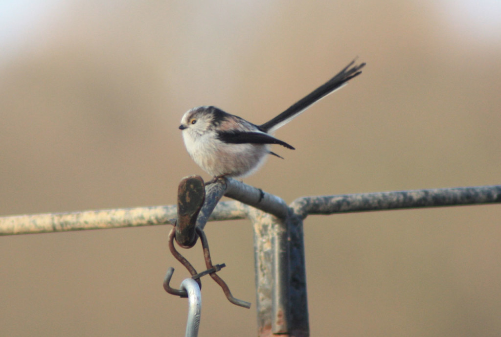 Long-tailed Tit at Woodlands Farm