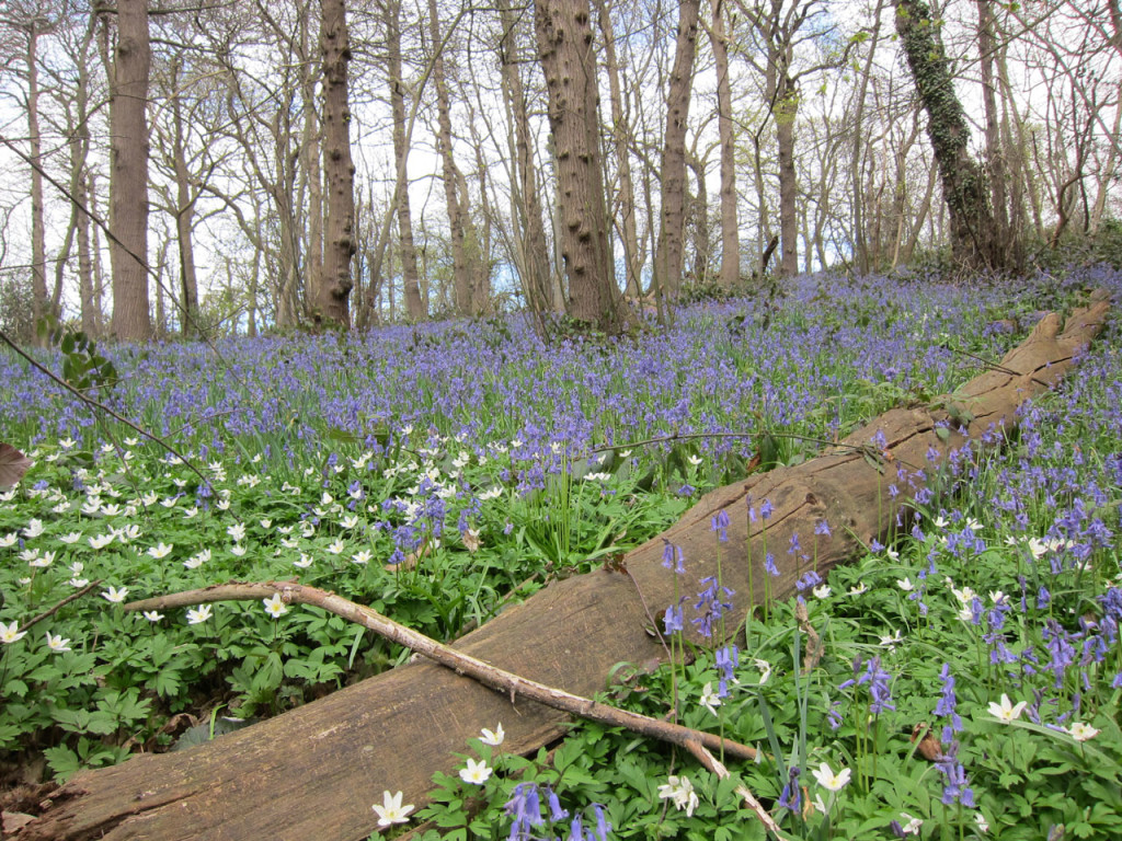Bluebells and Wood Anemones in Lesness Abbey Woods