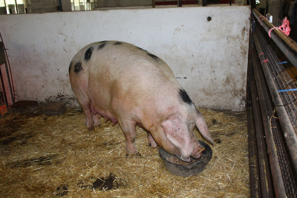 Rosie, the Gloucester Old Spot pig, at Woodlands Farm