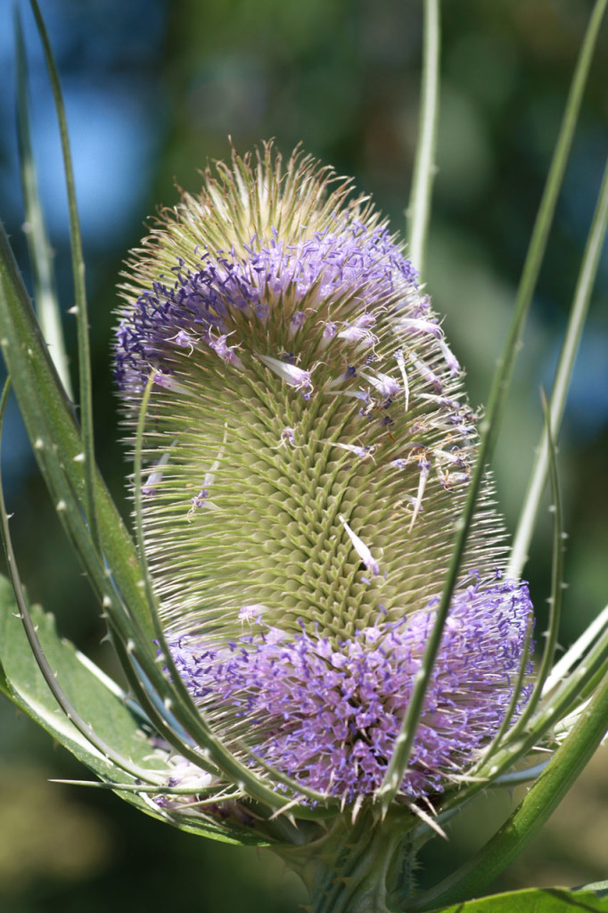 Teasel at Woodlands Farm