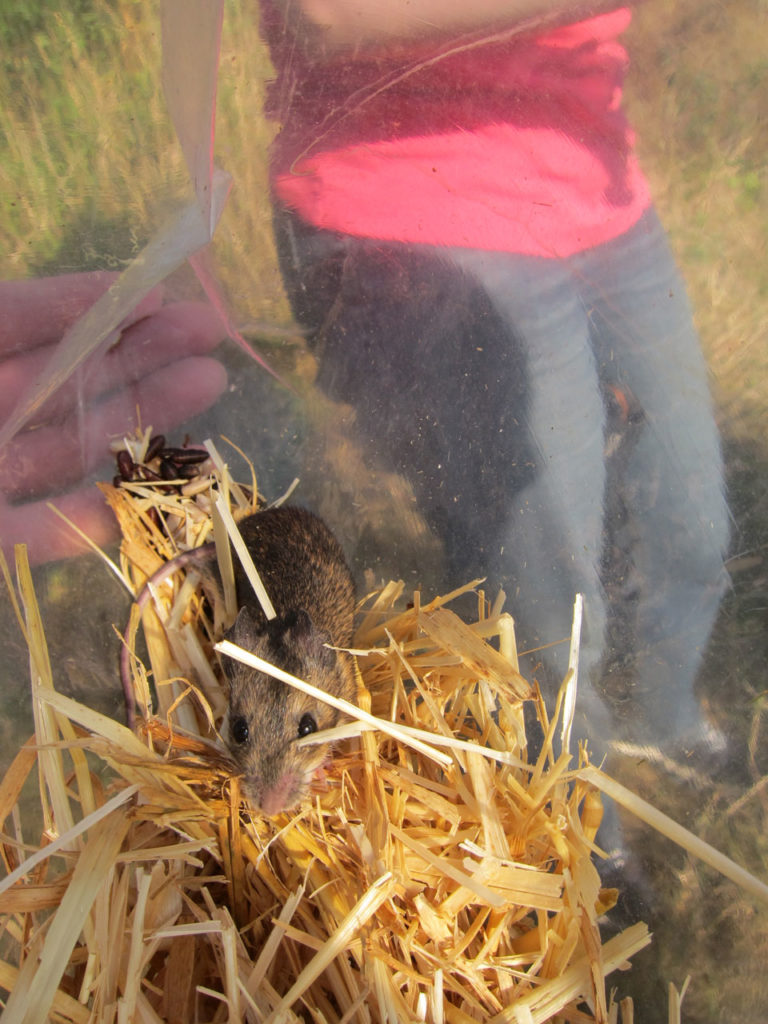Wood Mouse caught in Woodlands Farm's Mammal Survey