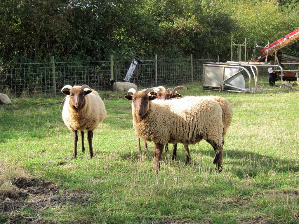 Manx Loaghtan at Woodlands Farm