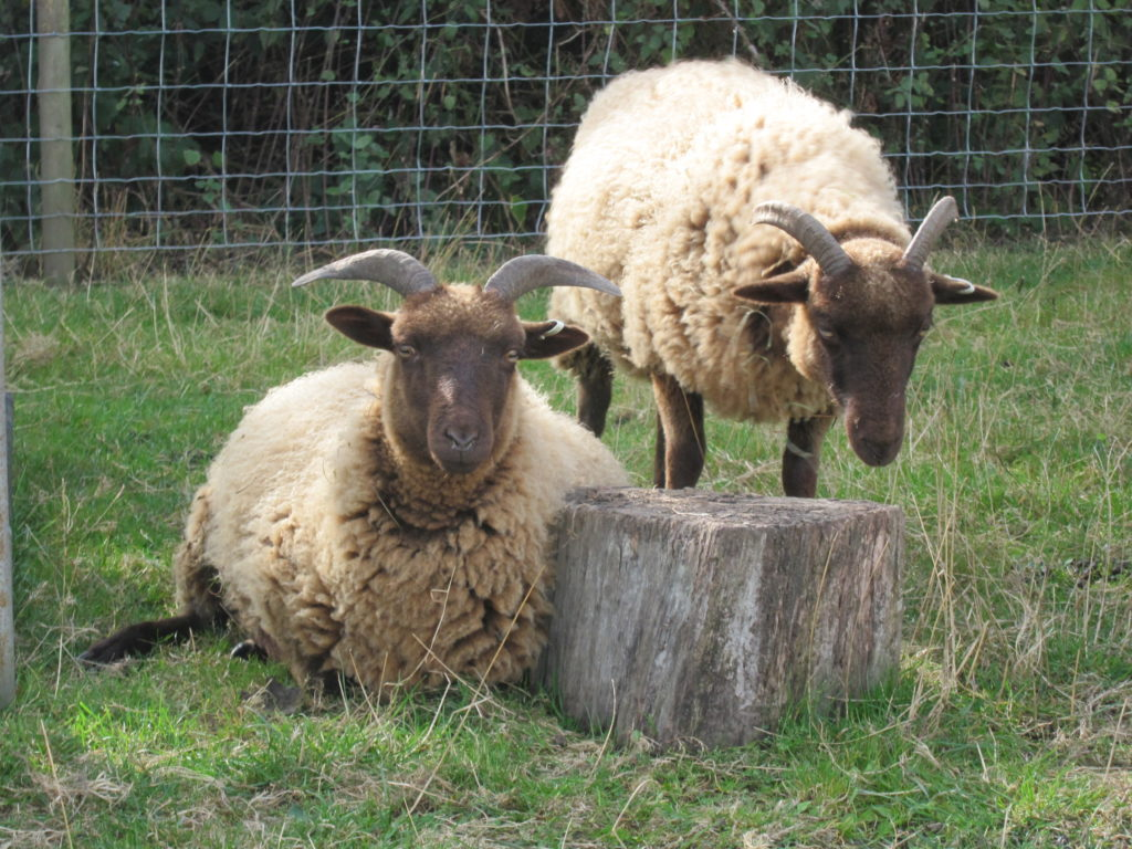 Manx Loaghtan sheep at Woodlands Farm