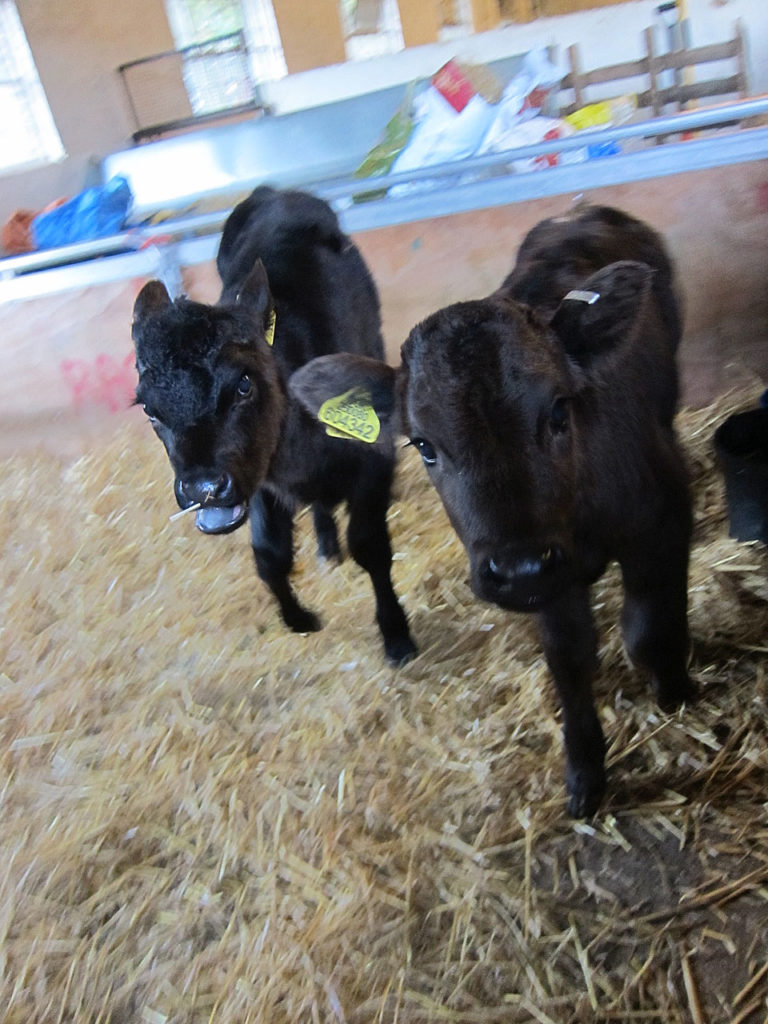 Woodlands Farm's new calves