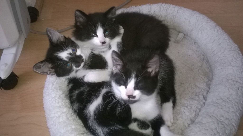 Some of CatCuddles fostered kittens