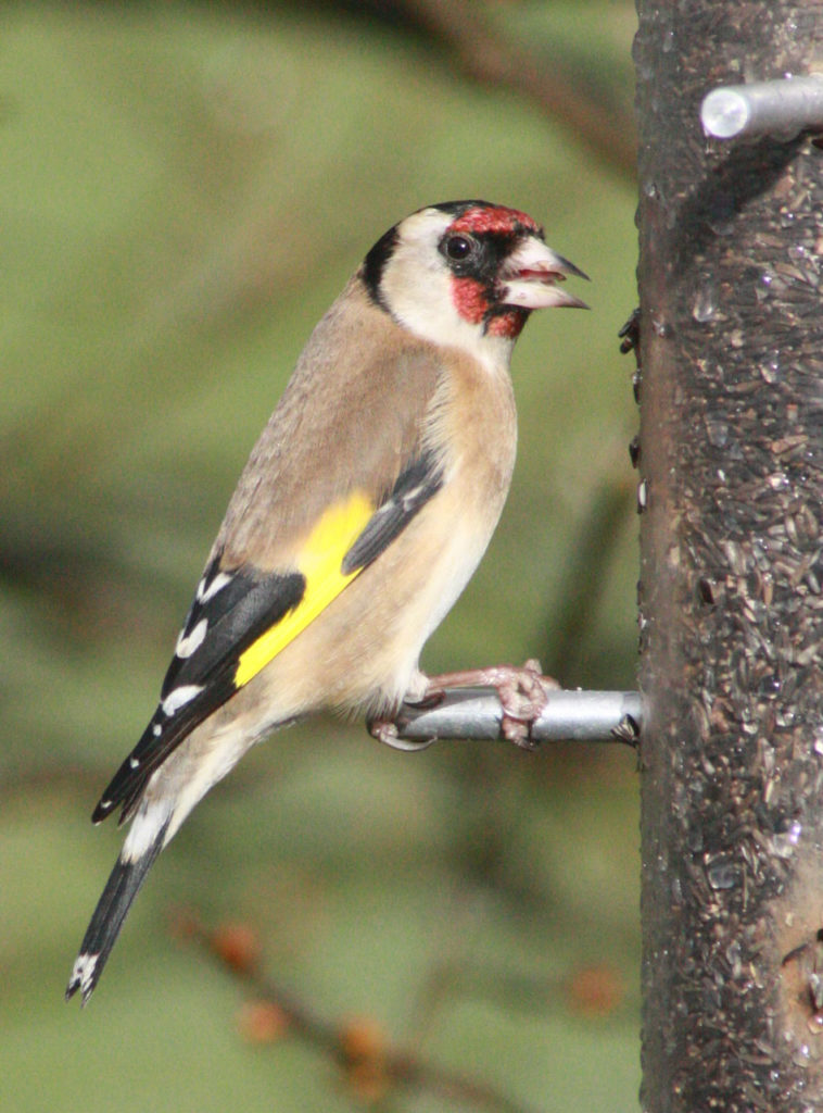 Goldfinch at Woodlands Farm