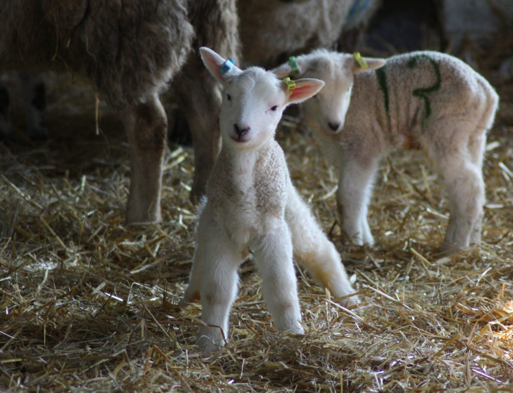 New lamb at Woodlands Farm