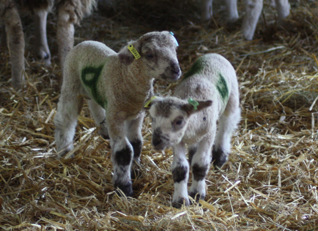 New lambs at Woodlands Farm