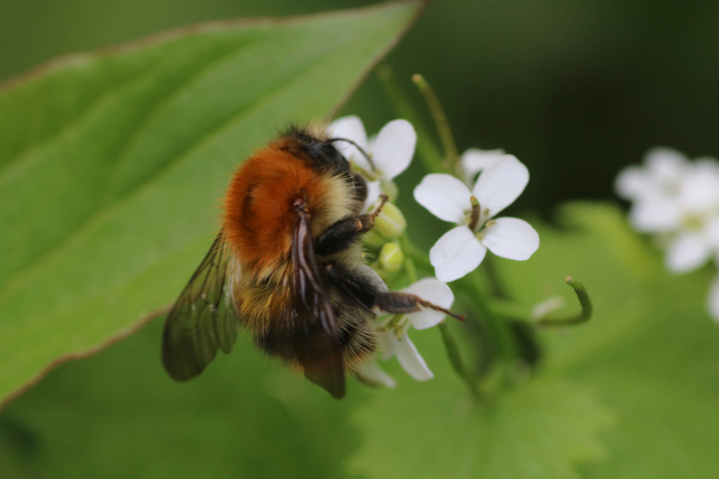 Common Carder Bee at Woodlands Farm