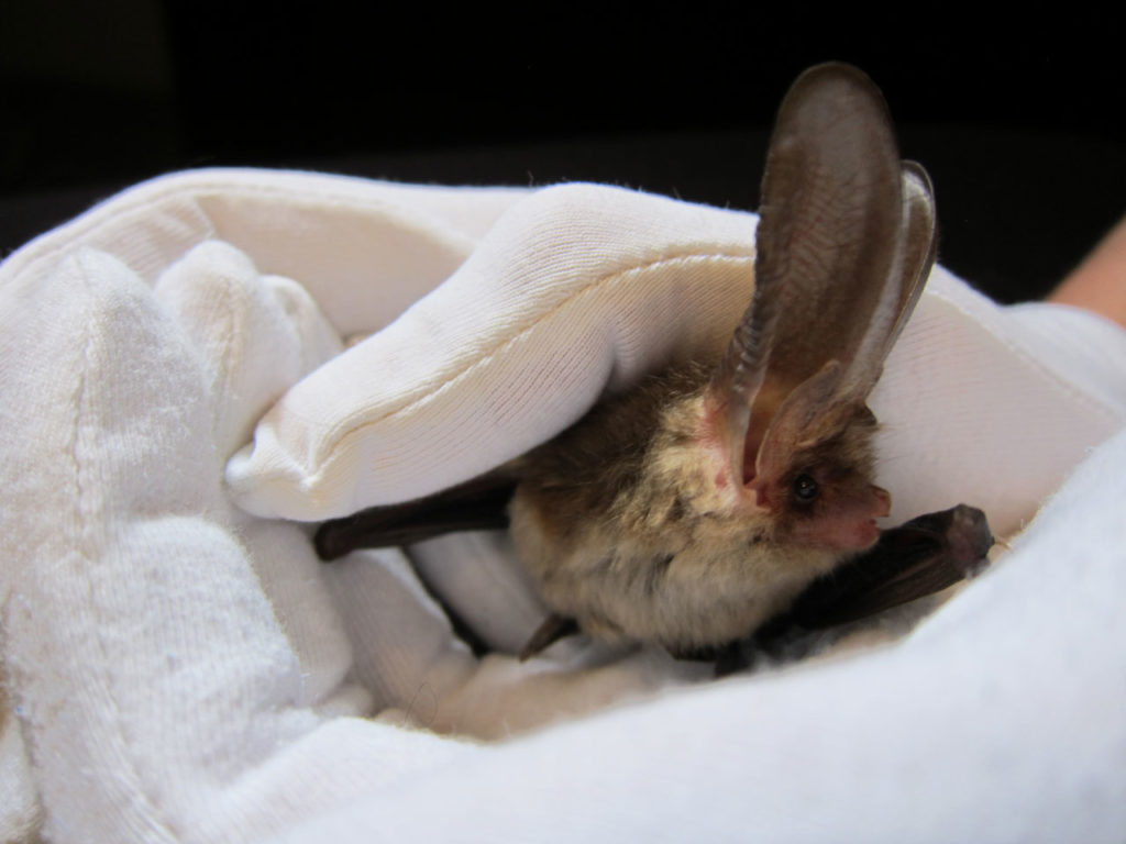 Brown Long-eared Bat at Bat Fest