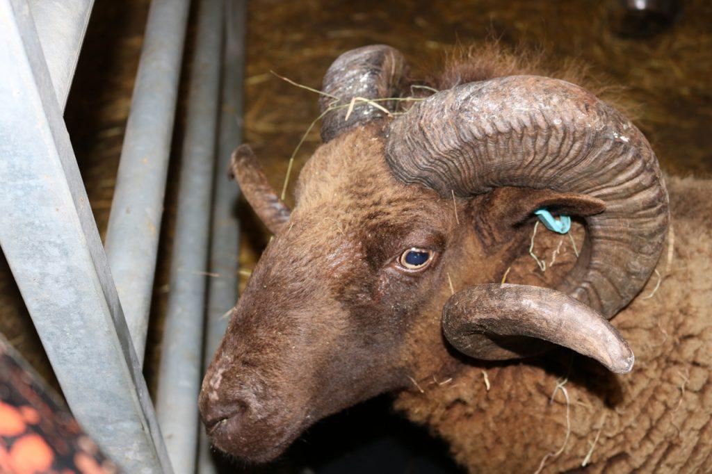Archy, the farm's new Manx Loaghtan ram