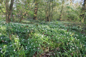 Wood Anemones in Oxleas Wood