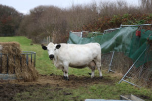 Clover the British White cow