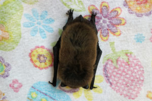 Pipistrelle bat at the BCT's Halloween is For Bats event at Tower Hamlets Cemetery Park