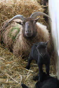 The Manx Loaghtans were Woodlands Farm's first lambs of 2018