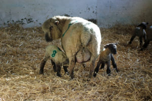 Woodlands Farm's first lambs of 2018