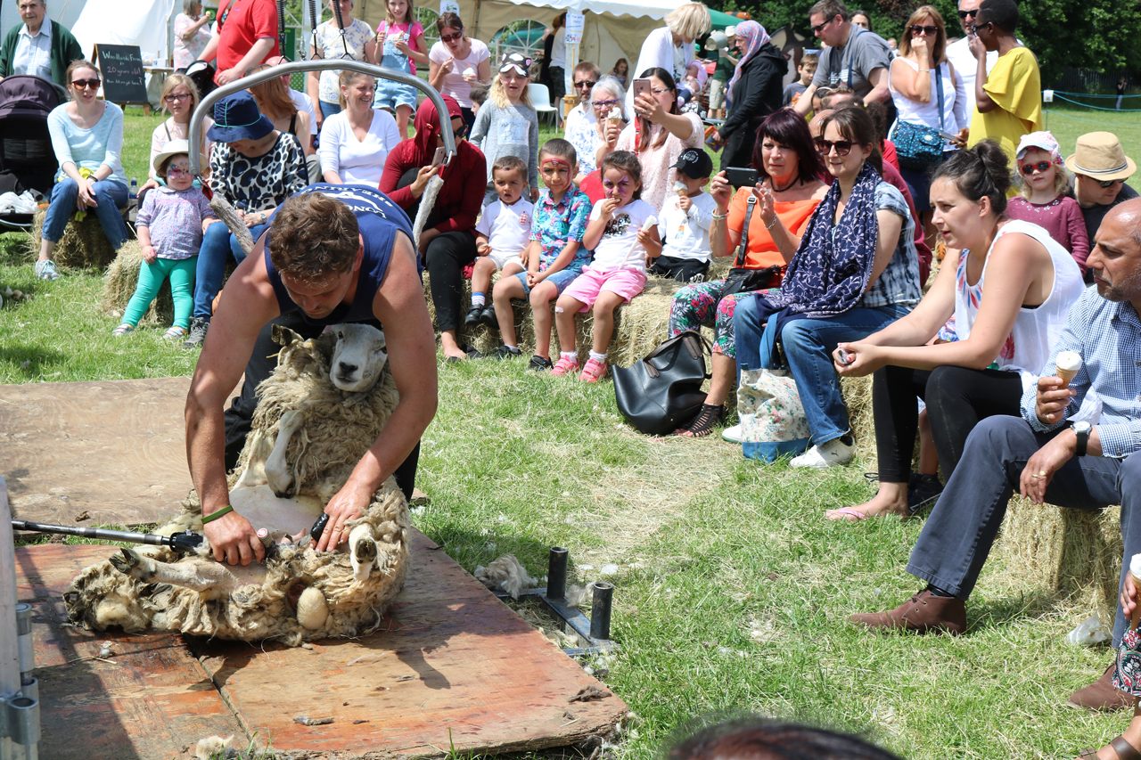 Sheeps shearing at Woodlands Farm's 2017 Summer Show