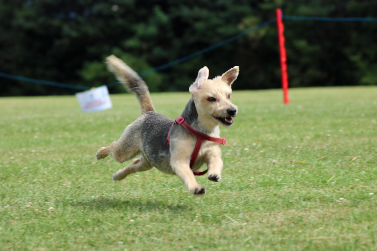 Fastest Dog event at the 2017 Shrewsbury Park Summer Festival