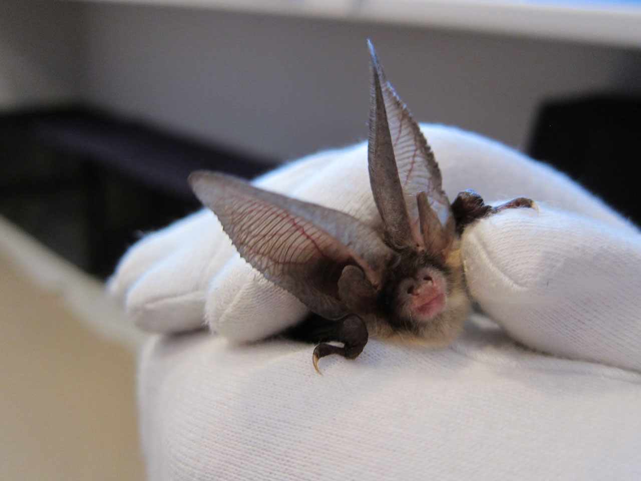 Brown Long-eared Bat at Bat Fest