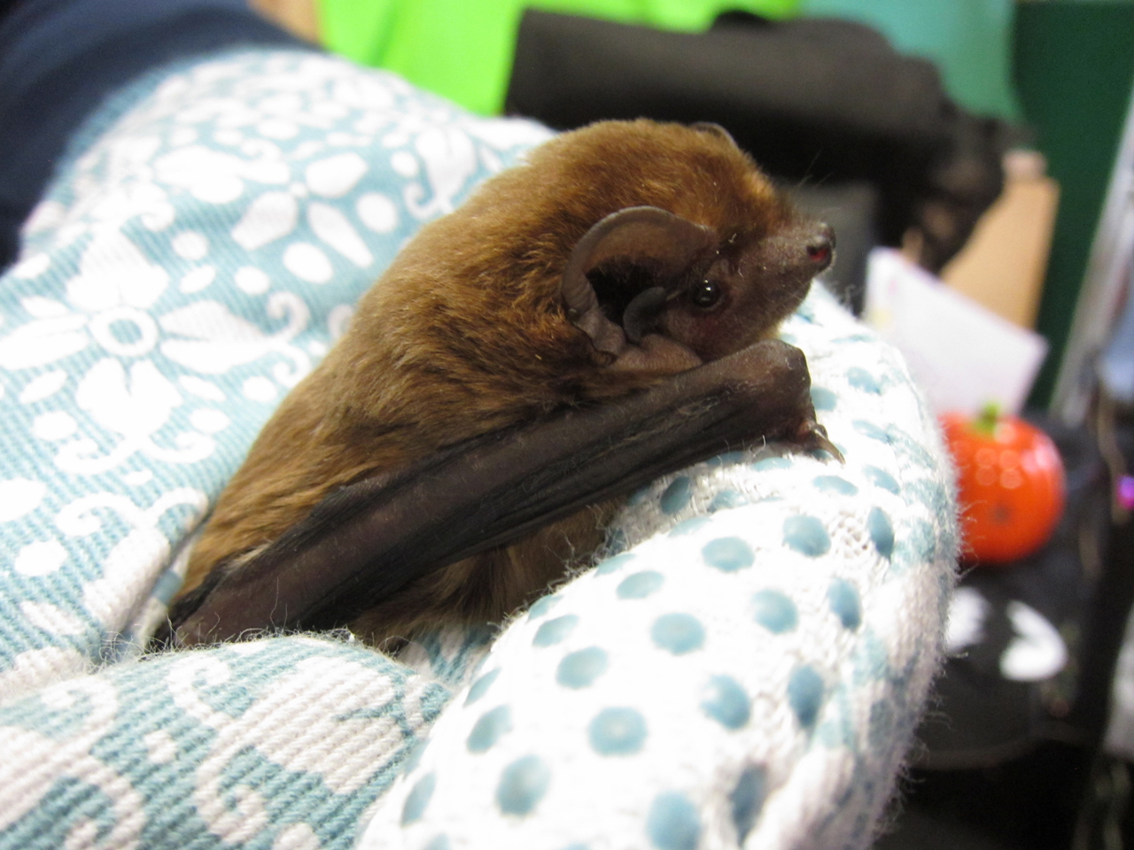 Serotine bat at the BCT's Halloween is For Bats event at Tower Hamlets Cemetery Park