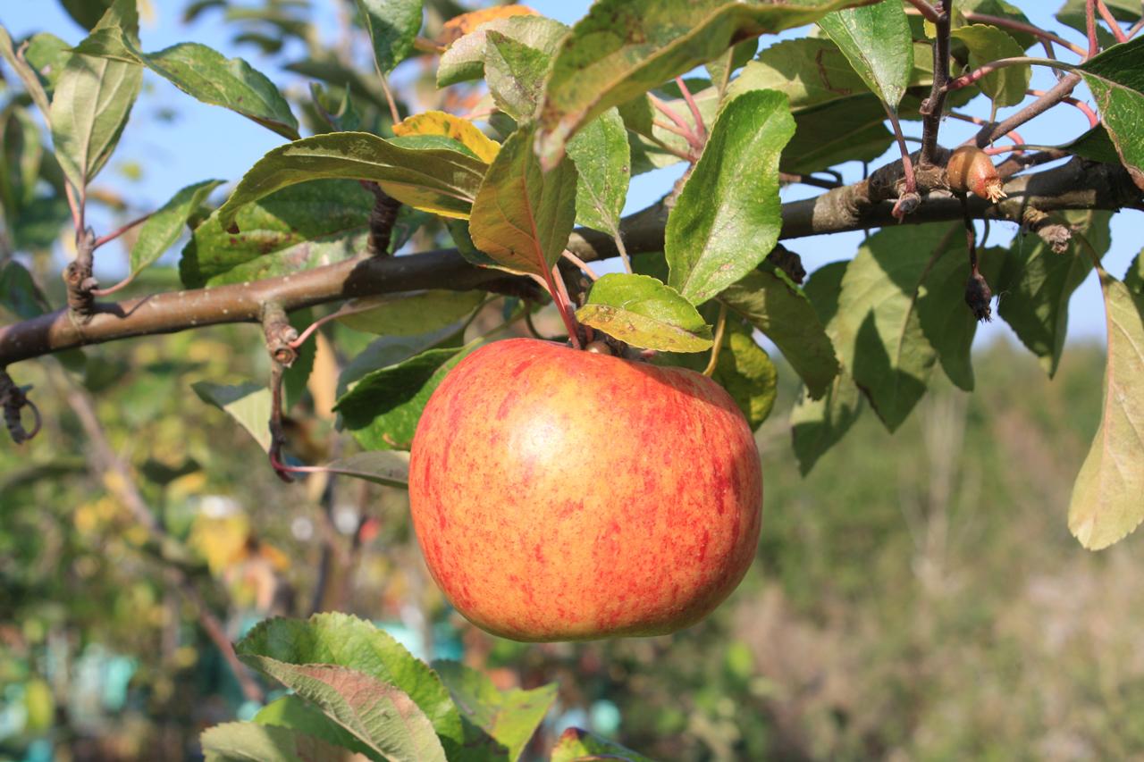 Apples at Woodlands Farm