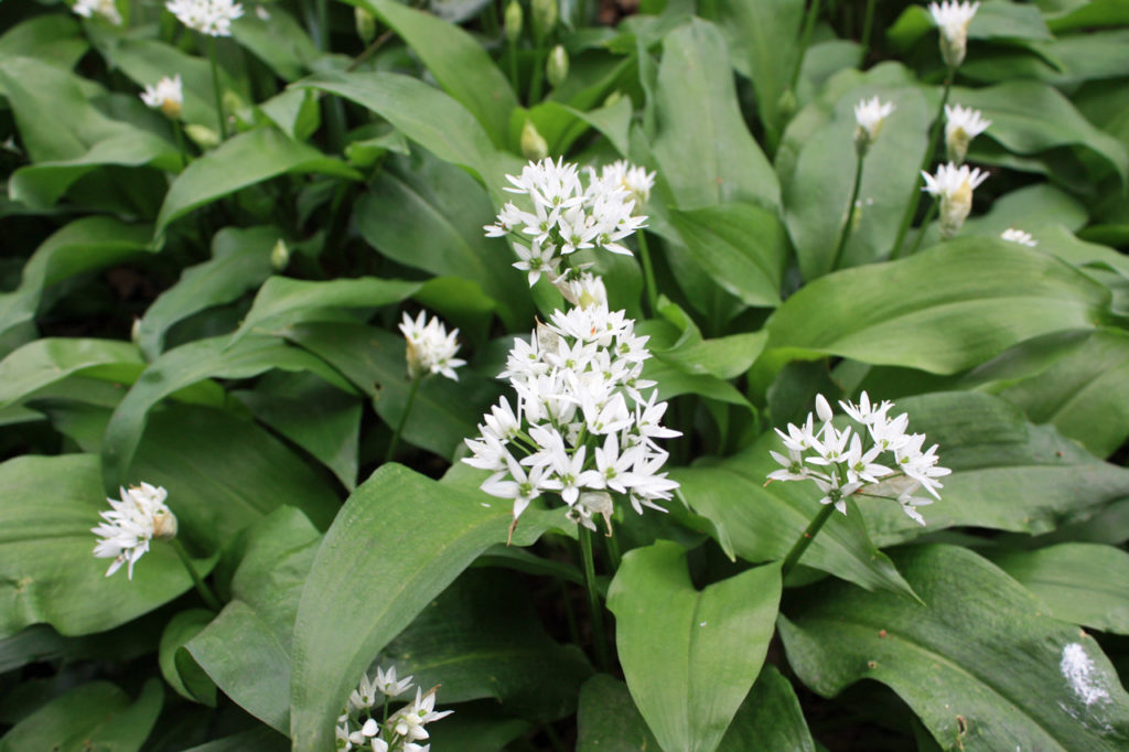 Wild Garlic in Oxleas Wood