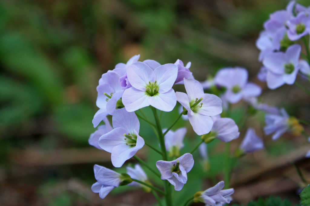 Ladies Smock (Cardamine pratensis) in Oxleas Wood