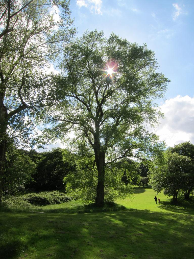 Tree in Shrewsbury Park
