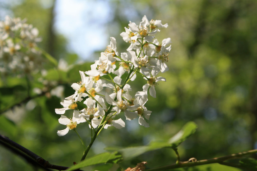 Bird Cherry flower in Oxleas Wood