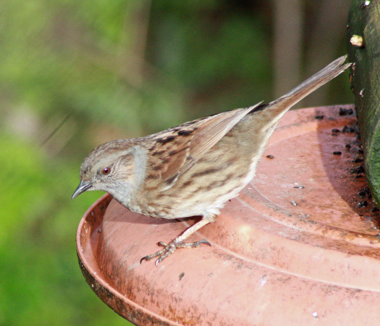 Dunnock at Woodlands Farm