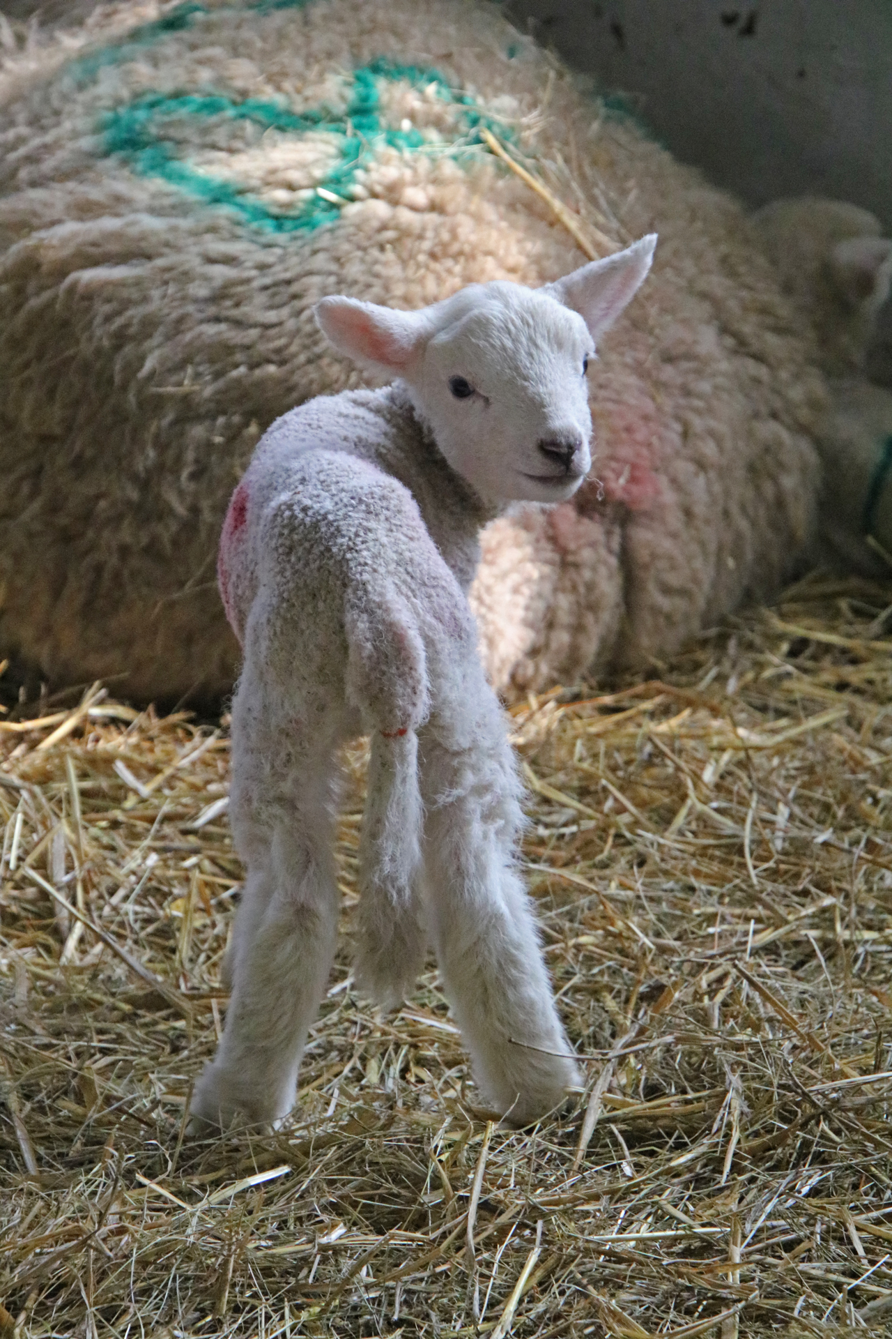 Woodlands Farm 2019 lamb