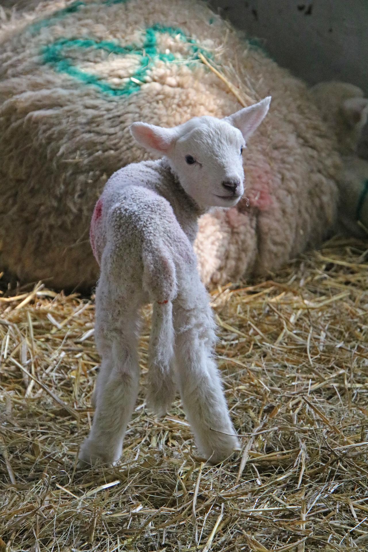 Woodlands Farm 2019 lamb