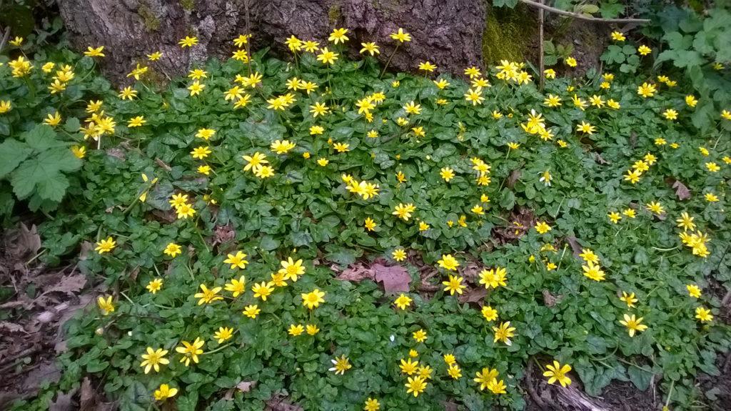 Lesser Celandine (Ranunculus Ficaria) in Oxleas Wood