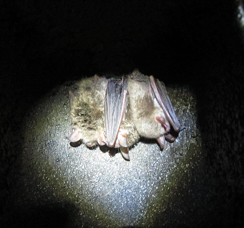 Hibernating Natterer's Bats in Highgate Tunnels