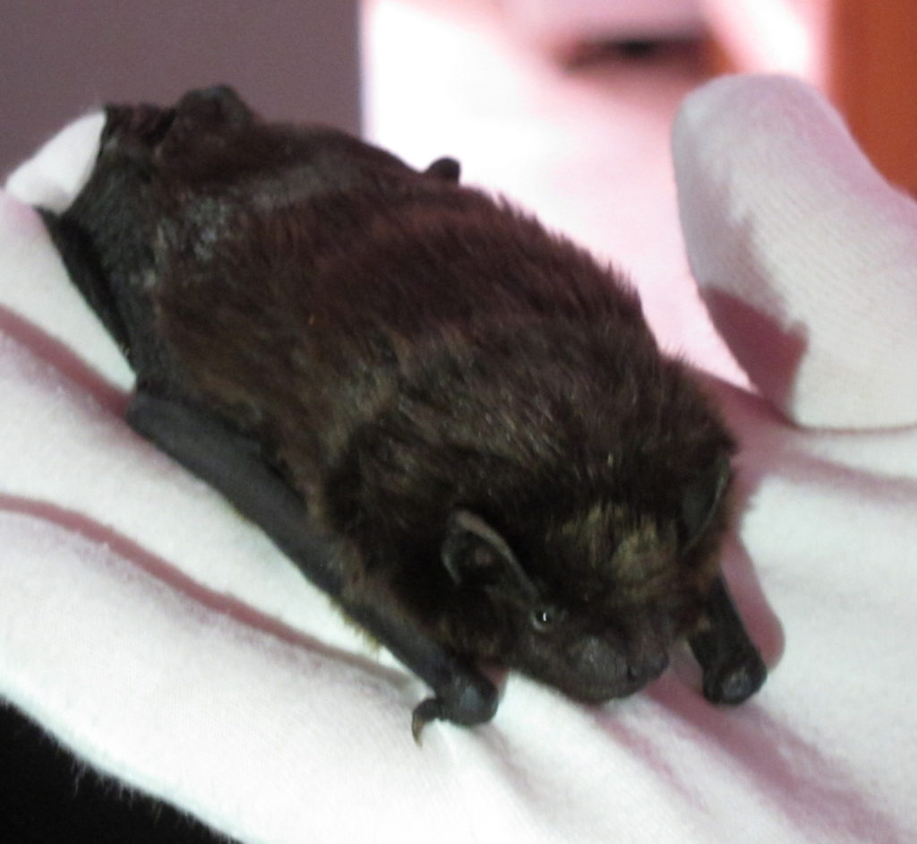 Sophie the Serotine Bat, one of Jenny Clark OBE's educations bats