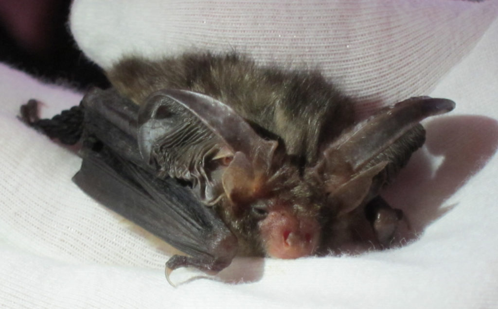 Brown Long-eared Bat, one of Jenny Clark OBE's educations bats