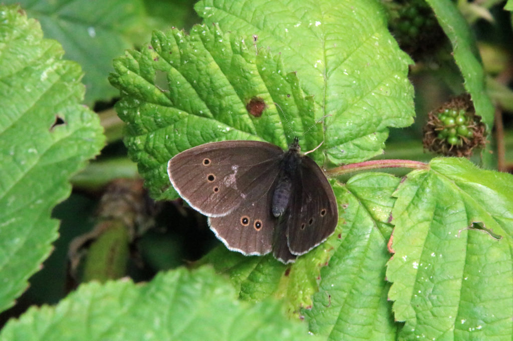 Ringlet butterfly in Shrewsbury Park