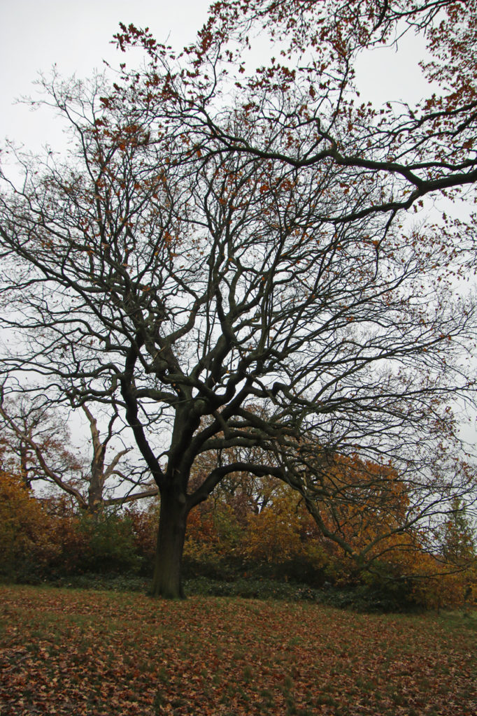 Autumnal tree in Oxleas Wood